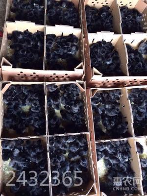 綠殼蛋雞苗 鎮店之寶 鉆石級賣家你值得信賴
