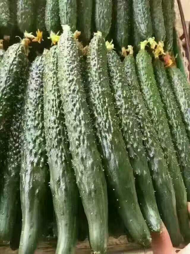 [德瑞特721黄瓜批发] 大棚黄瓜大量上市!价格0.6元/斤