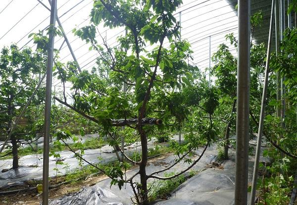 大棚樱桃夏季肥水管理