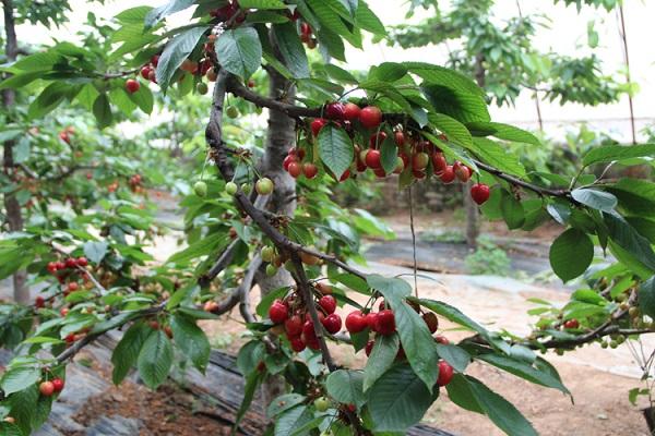 夏季大棚樱桃种植的管理技术要点