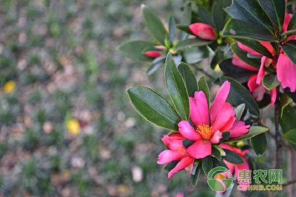 杜鹃红山茶育种技术之收集花粉
