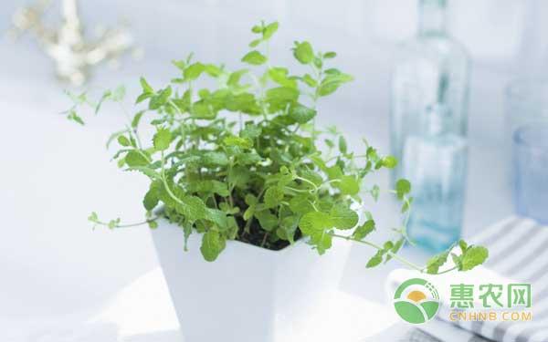 中药材薄荷种植于盆栽的技术方法