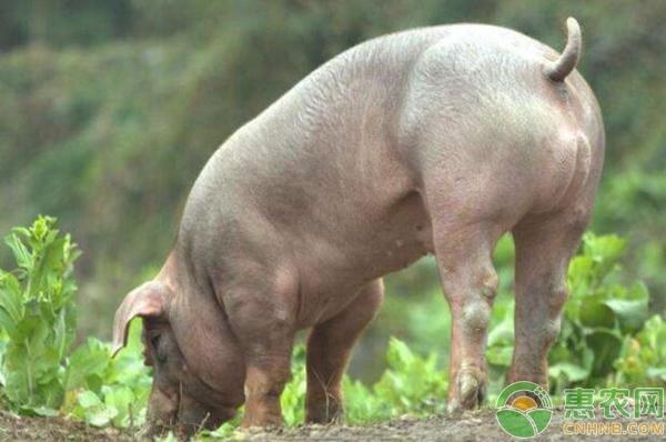 种公猪饲养管理