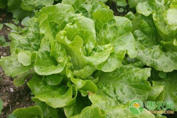 生菜种植管理
