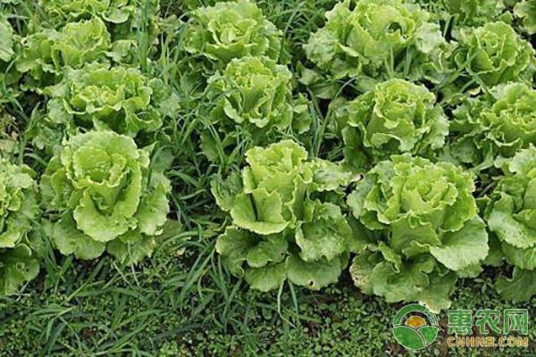 生菜种植技术