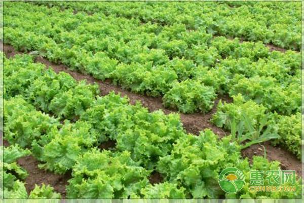 生菜如何进行家庭种植