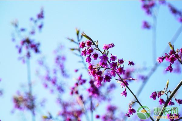 福建山樱花怎么种植?福建山樱花高效种植技术