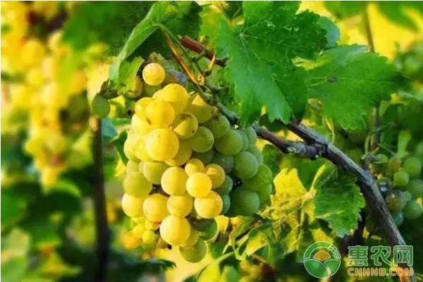阳光玫瑰葡萄省力化高产栽培技术