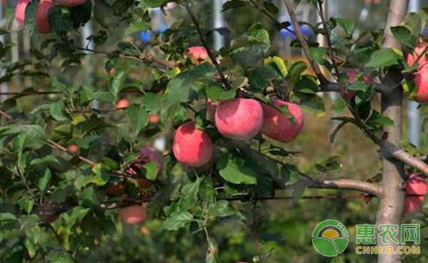 苹果树矮化密植栽培管理技术