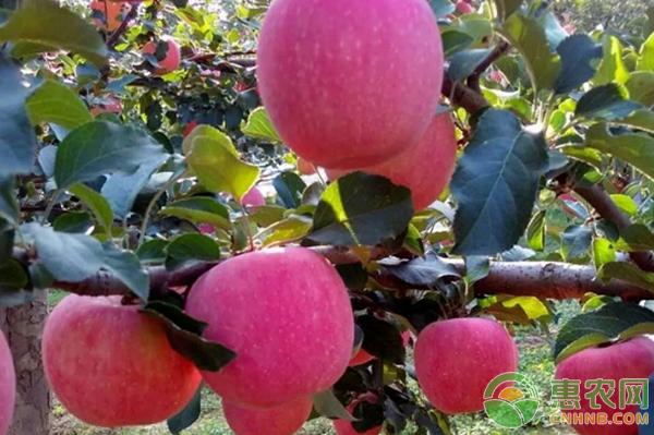 苹果矮化种植