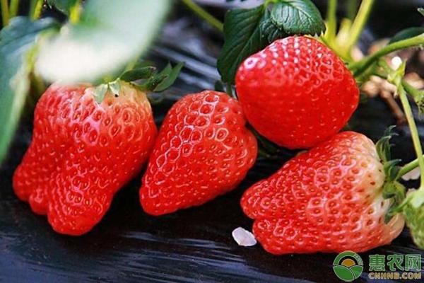 草莓常见虫害防治图片