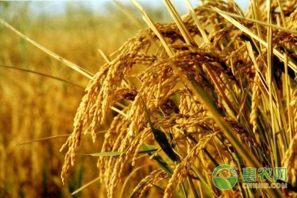 种植杂交稻怎么减少化肥?杂交稻减少化肥用量高产技术