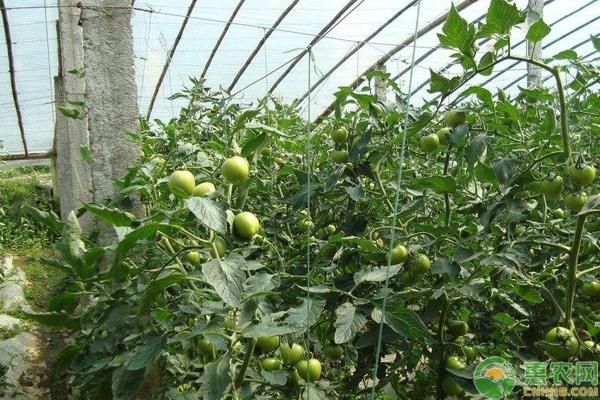 棚室蔬菜高产优产种植的六大施肥技巧