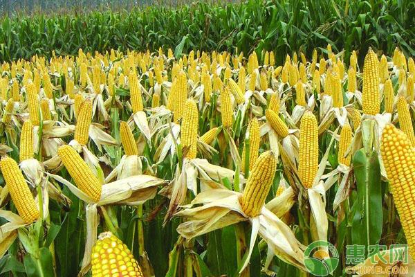 玉米为什么会秃尖?造成玉米秃尖的原因及防治措施
