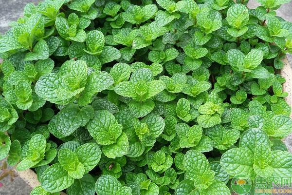 薄荷如何高产种植?薄荷绿色高产栽培技术