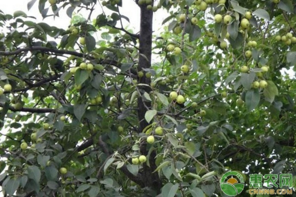果树修剪技术及其注意事项