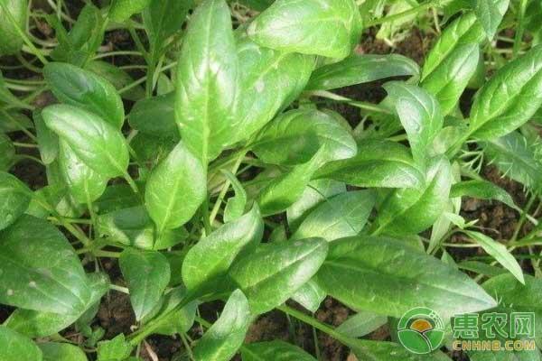 菠菜栽种方法