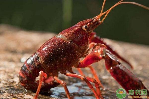 如何繁殖小龙虾?小龙虾*池繁殖法及日常管理要点