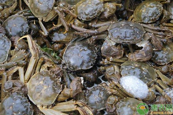 高寒地区河蟹养殖增效关键技术措施