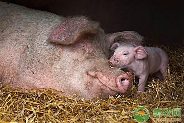 母猪产后没奶怎么办?