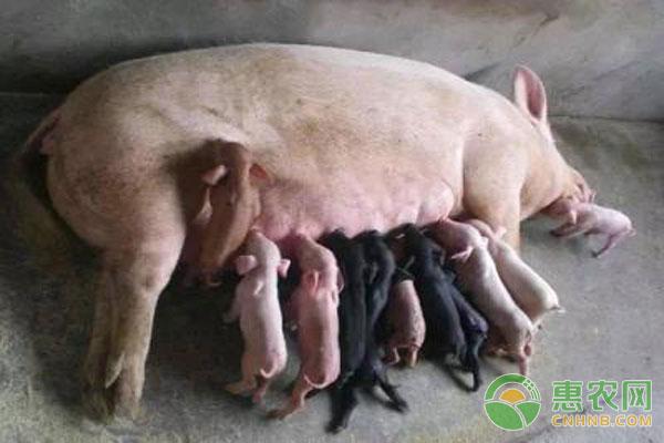如何让仔猪吃到充足又优质的奶水呢?
