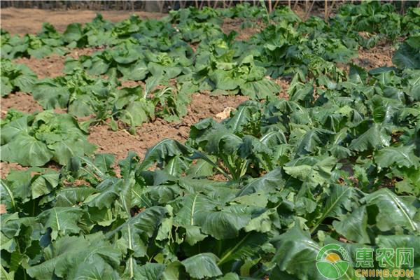 大棚蔬菜秧苗越冬