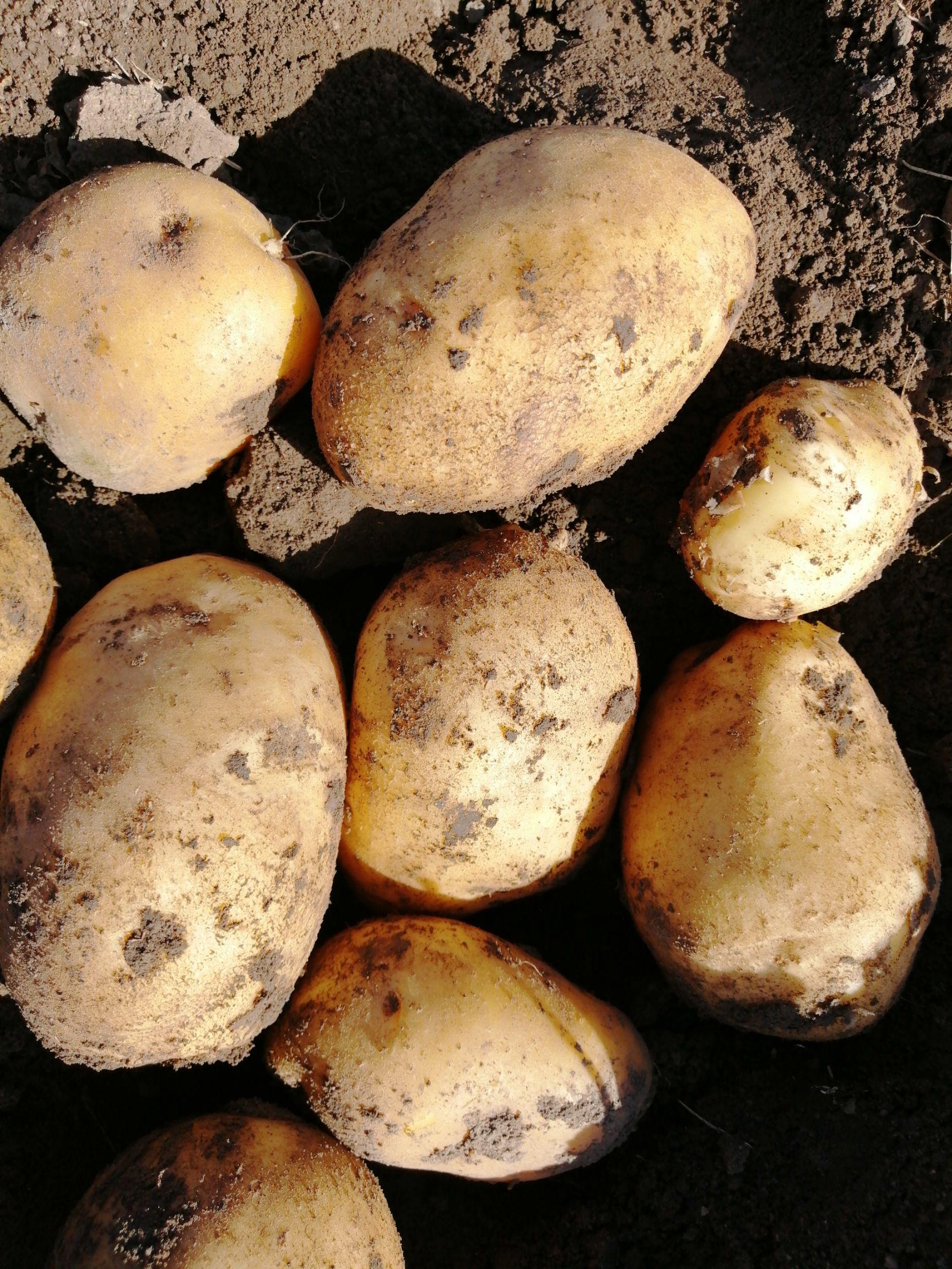 [尤金885土豆批发] 吉林扣莫尤金土豆大量供应上市,欢迎来点咨询价格0.55元/斤