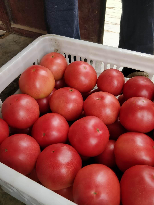 [硬粉番茄批发]硬粉番茄 量大,精品价格1.5元/斤