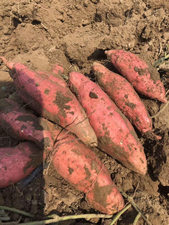 [烟薯25批发] 烟薯25河北唐山新薯批发供应种植基地直发电商一件代发品质价格1.8元/斤