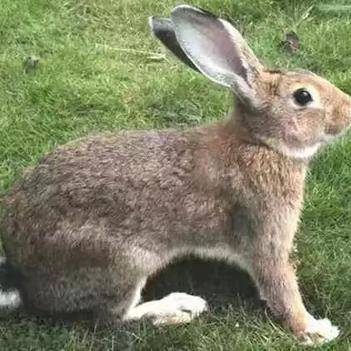山地野兔 野兔苗活體小兔32只包郵散養雜交野兔野生繁殖種兔野味肉兔活物
