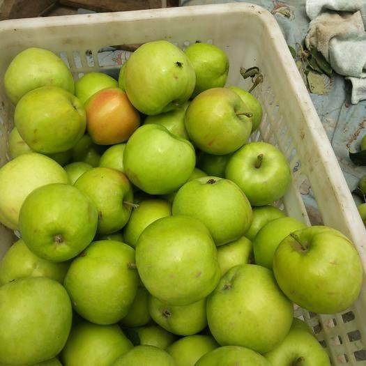 河南省鄭州市中牟縣華丹蘋果 光果 翠綠 85mm以上