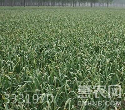 金鄉大蒜 5~5.5cm 多瓣蒜  約5.0斤/箱