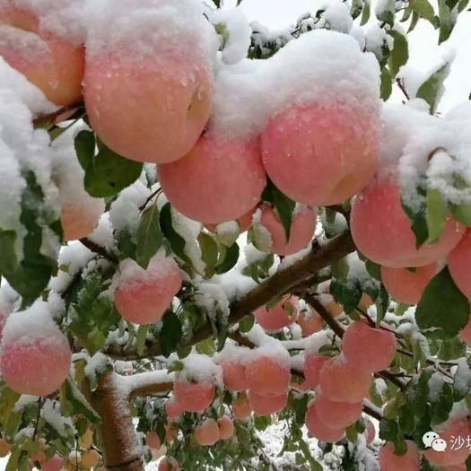 寧夏回族自治區中衛市沙坡頭區 寧夏中衛市豐偉種植農民專業合作社富硒蘋果