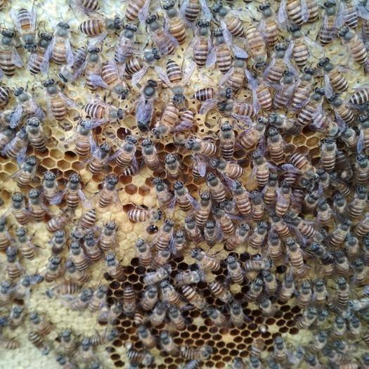 廣西壯族自治區玉林市容縣 蜜蜂土蜜蜂,蜂量足,種蜂好產蛋多繁殖快采蜜特別多連蜂箱連脾發