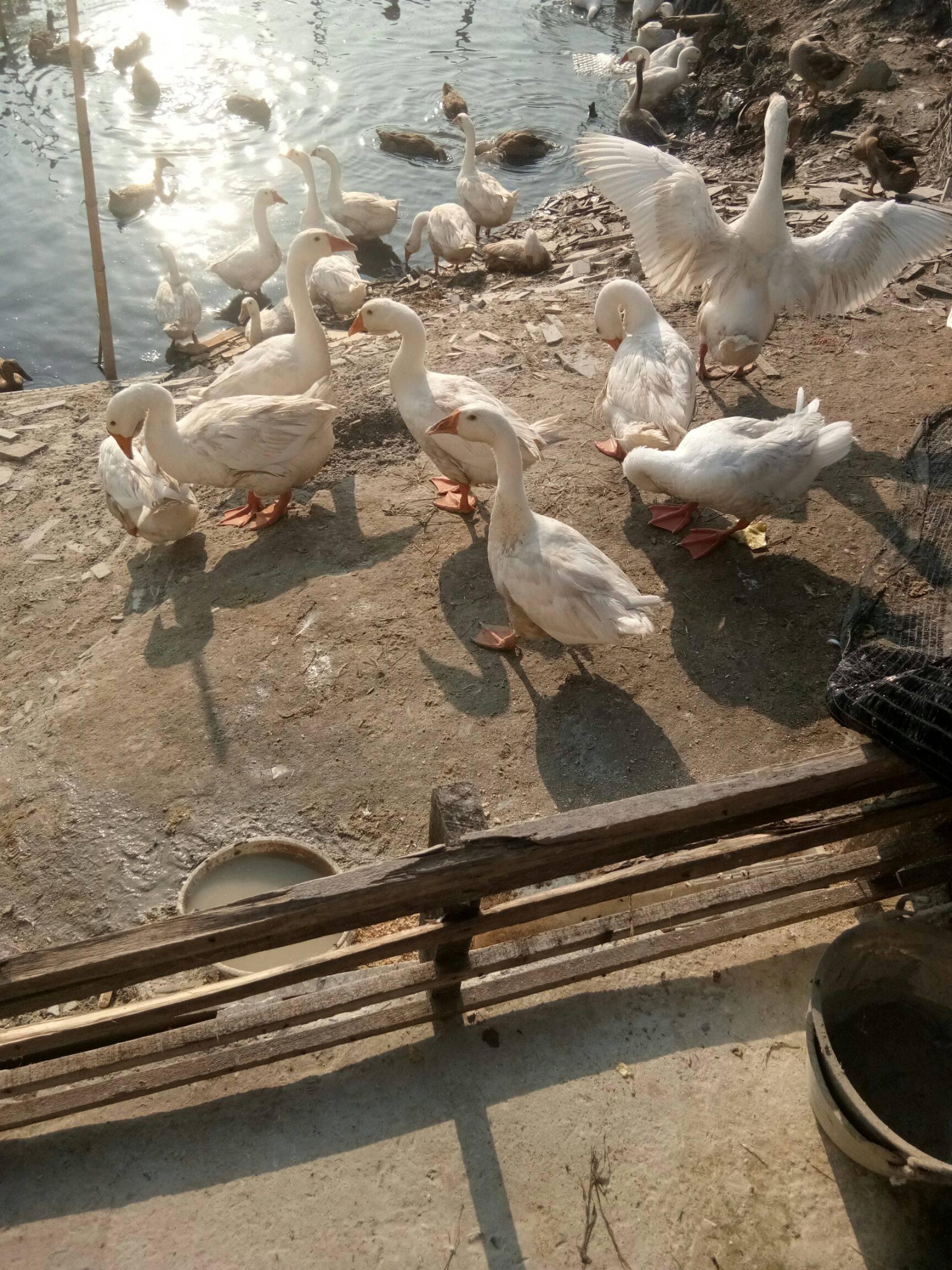 [白鹅批发]白鹅 统货 半圈养半散养 68斤价格10元/斤