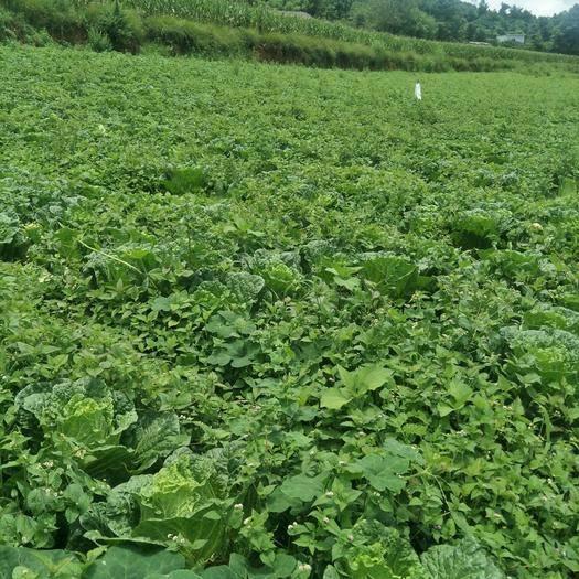 云南省紅河哈尼族彝族自治州瀘西縣高抗王二號大白菜 3~6斤 凈菜