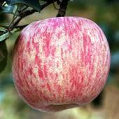 山東 棲霞紅富士蘋果 單果80mm左右 凈重5斤38