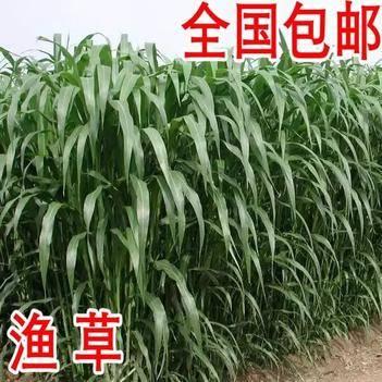 苏丹草种子 优质进口多年生牧草种子 鱼草 草籽 猪牛羊草饲料