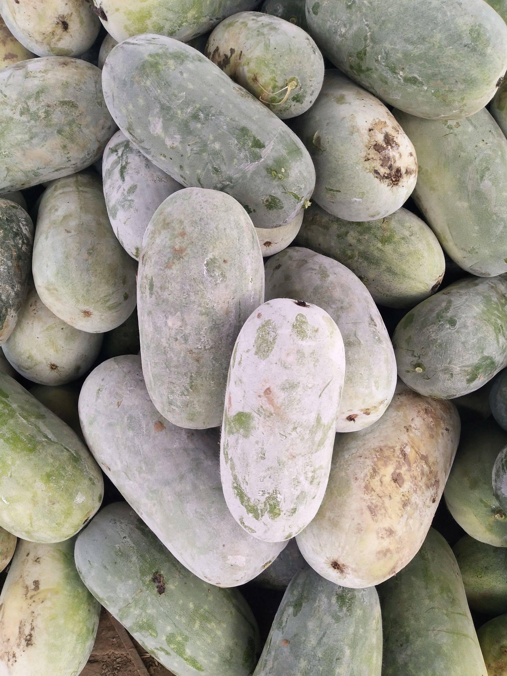 [水果小冬瓜批发] 水果冬瓜适合全国各地价格0.12元/斤