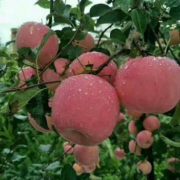昭通冰糖心紅富士蘋果10斤凈果包郵一件代發