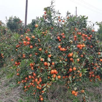 世紀紅柑橘苗 嫁接苗 0.5~1米