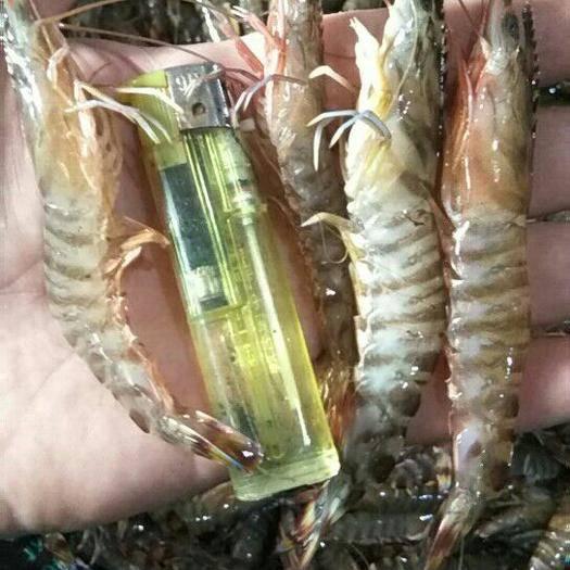 辽宁省丹东市东港市海水虾 人工养殖 2钱以下
