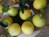 三紅蜜柚 1.5斤以上