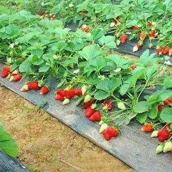 紅顏草莓苗 帶種植資料 帶土球發貨