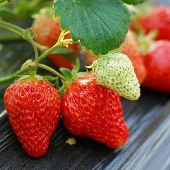 章姬草莓苗 帶種植資料  帶土發貨