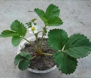 四季草莓苗 帶種植資料   帶土發貨