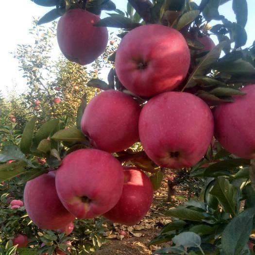 遼寧省大連市瓦房店市首紅蘋果 80mm以上 表光 紙袋