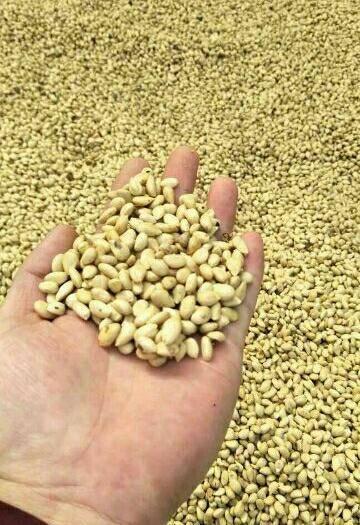 山东省泰安市岱岳区枳壳种子 批发 当年新采的价格便宜