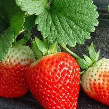 太空2008草莓苗 帶種植資料 帶土發貨