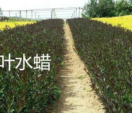 江苏省宿迁市沭阳县金叶水蜡